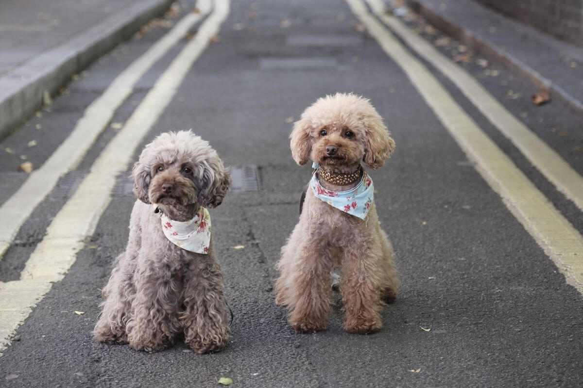 Two cute twin dogs wearing the same ribbon