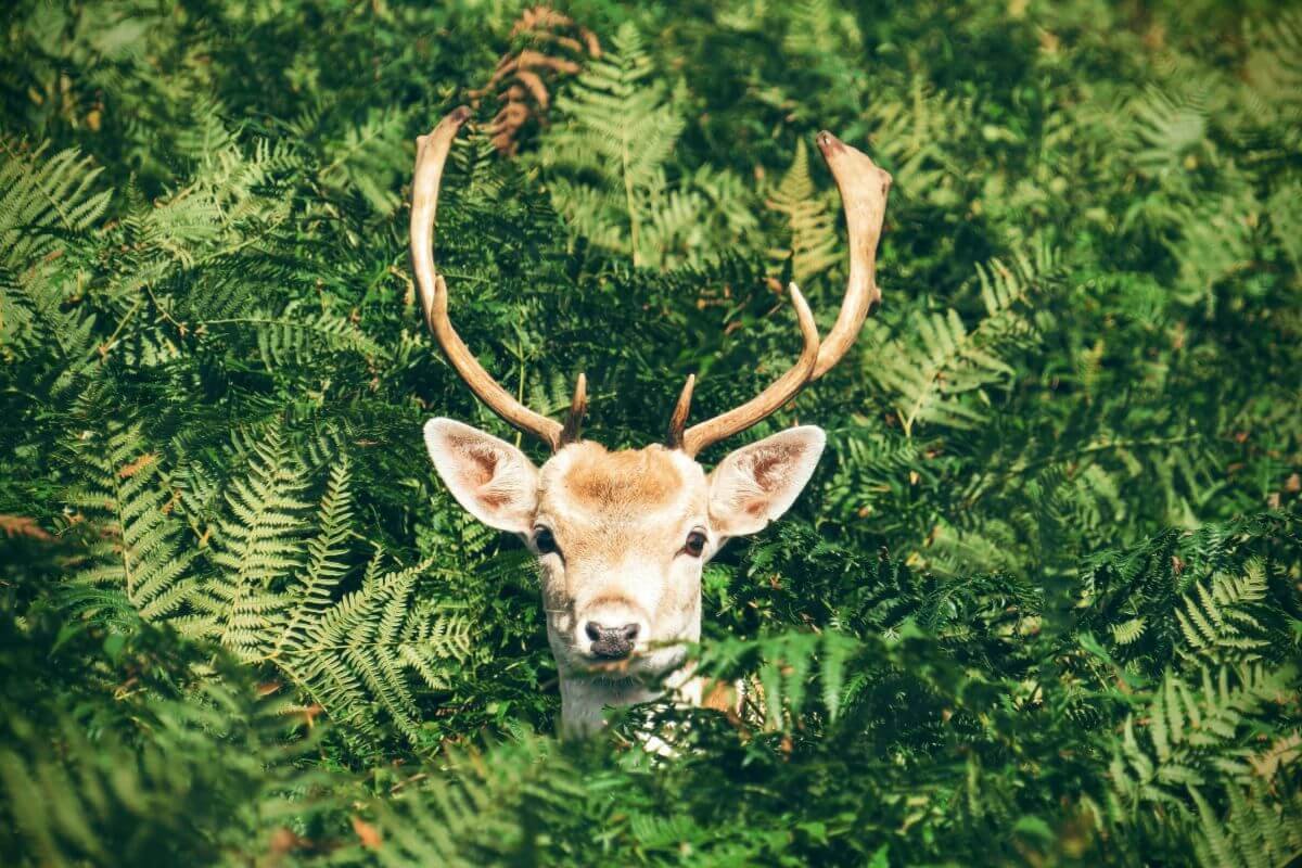Deer in the bushes staring into your soul